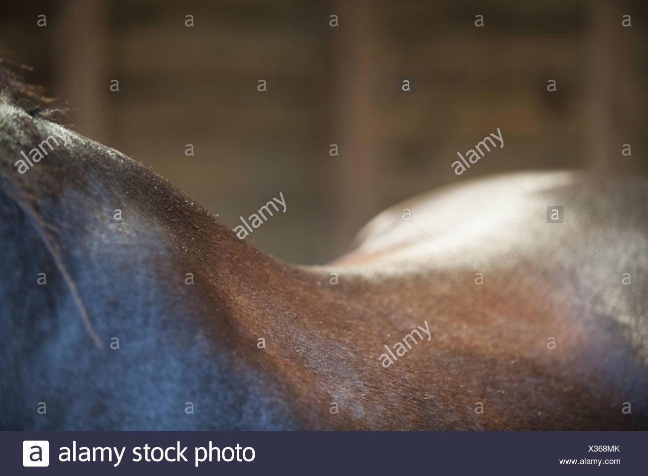 Un cheval baie du cou garrot et la courbe de l'arrière de l'Angleterre Photo Stock