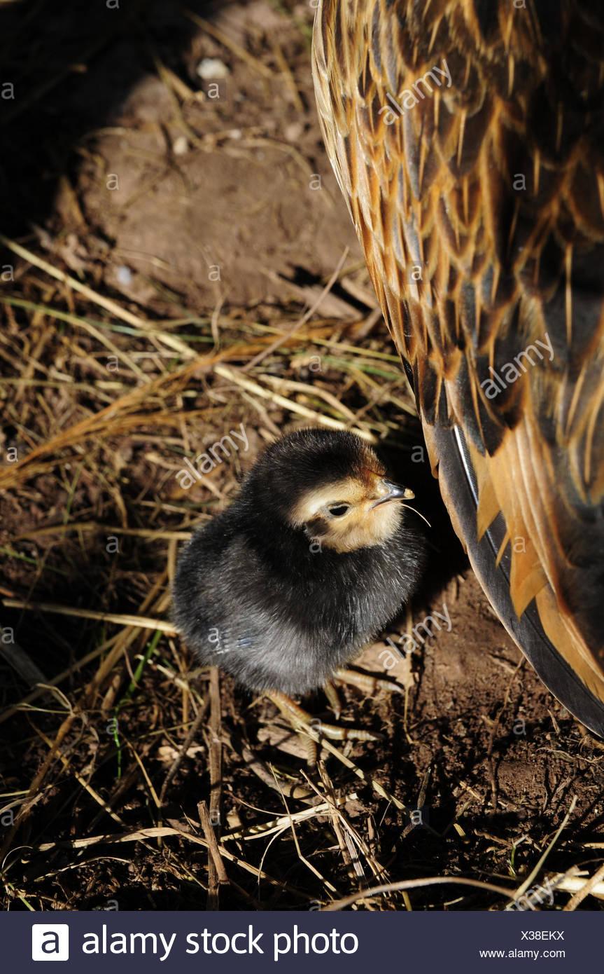 Barbu d'anvers chickss à côté de poulet, medium close-up Photo Stock