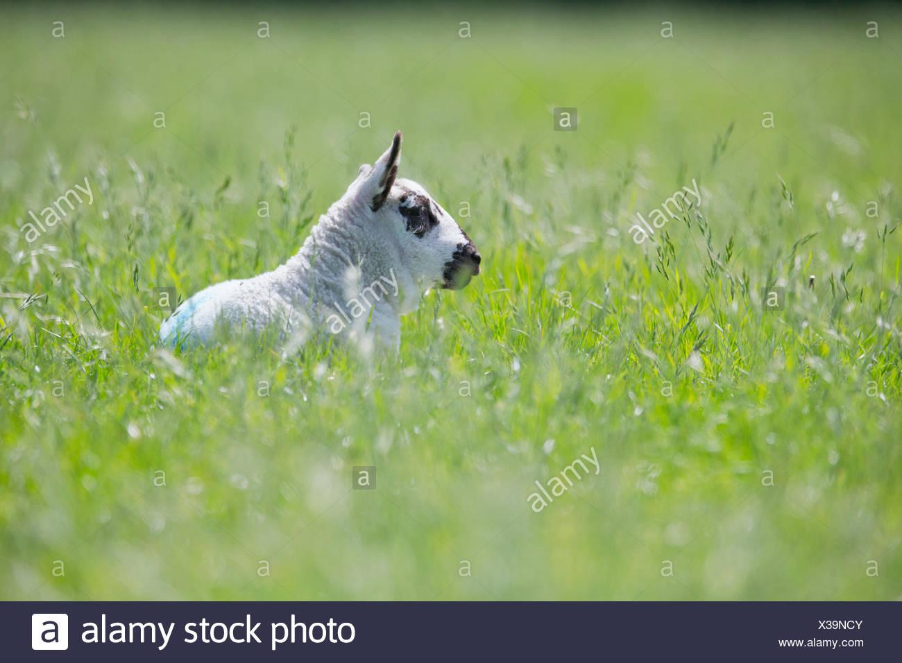 Pose d'agneau sous le soleil de printemps vert Photo Stock