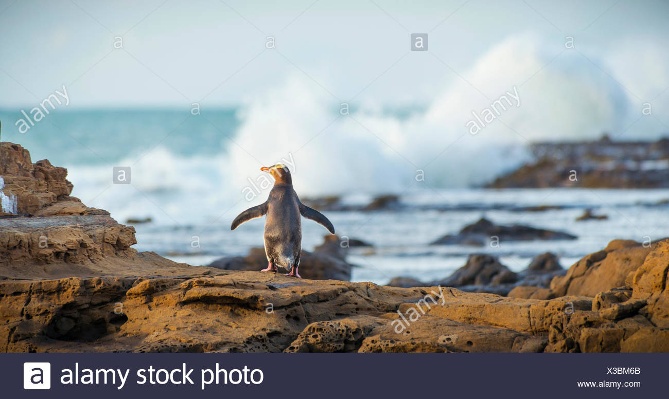 Yellow-eyed penguin, Hoiho (Megadyptes antipodes) sur la roche, sécher ses ailes, Forêt Pétrifiée, Curio Bay, Southlands Photo Stock