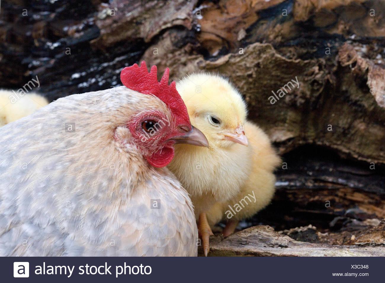 Barbu d'Uccle poulet domestique, une race de poule et les poussins, Belgique Photo Stock