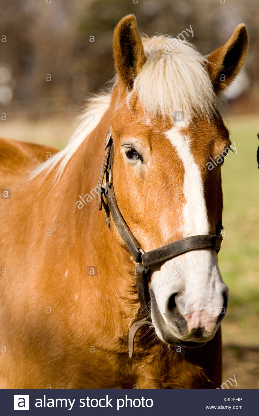 Un cheval de trait belge. Photo Stock