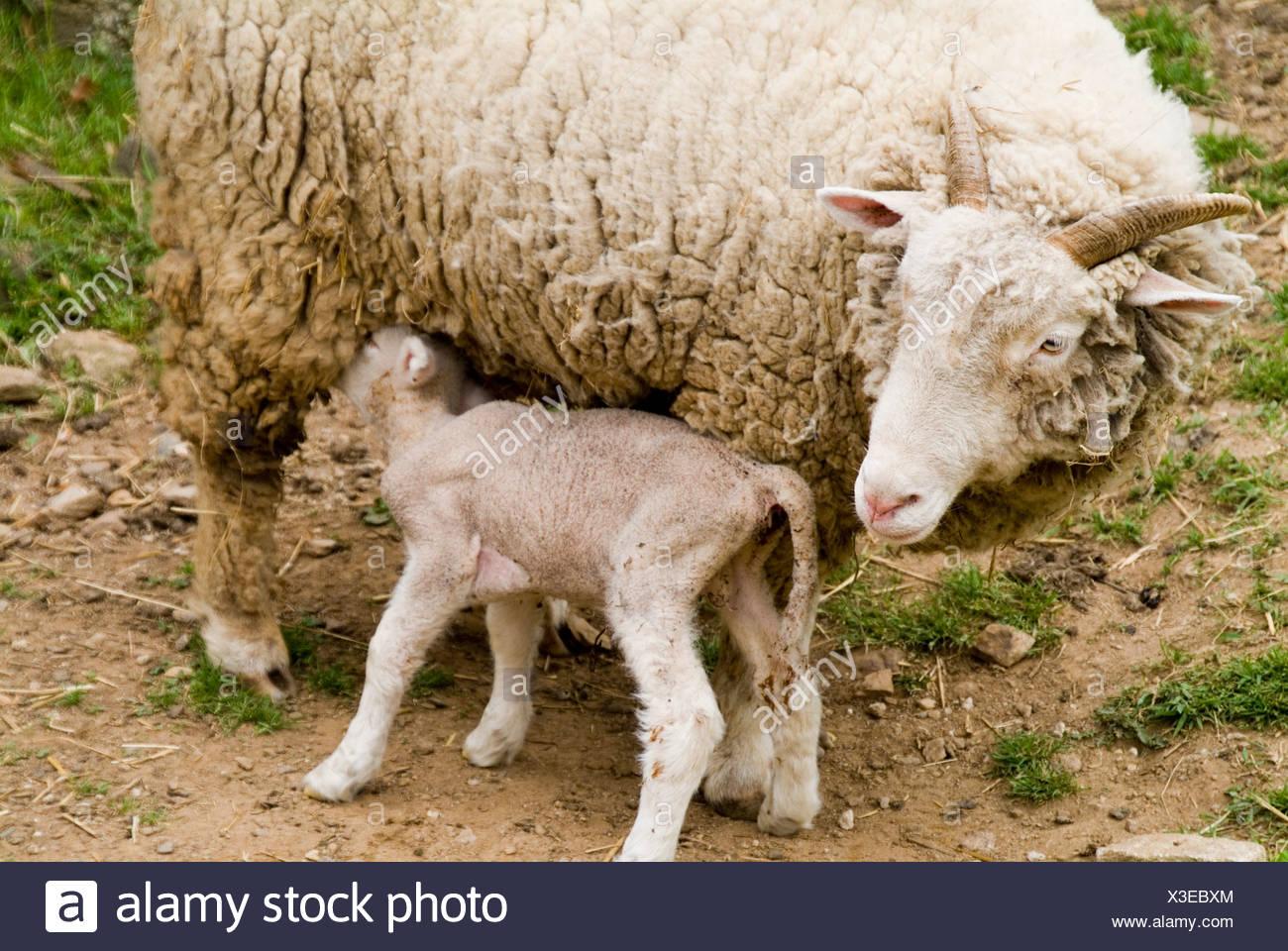 les animaux de ferme nouvelle agneau n b b mouton avec m re banque d 39 images photo stock. Black Bedroom Furniture Sets. Home Design Ideas