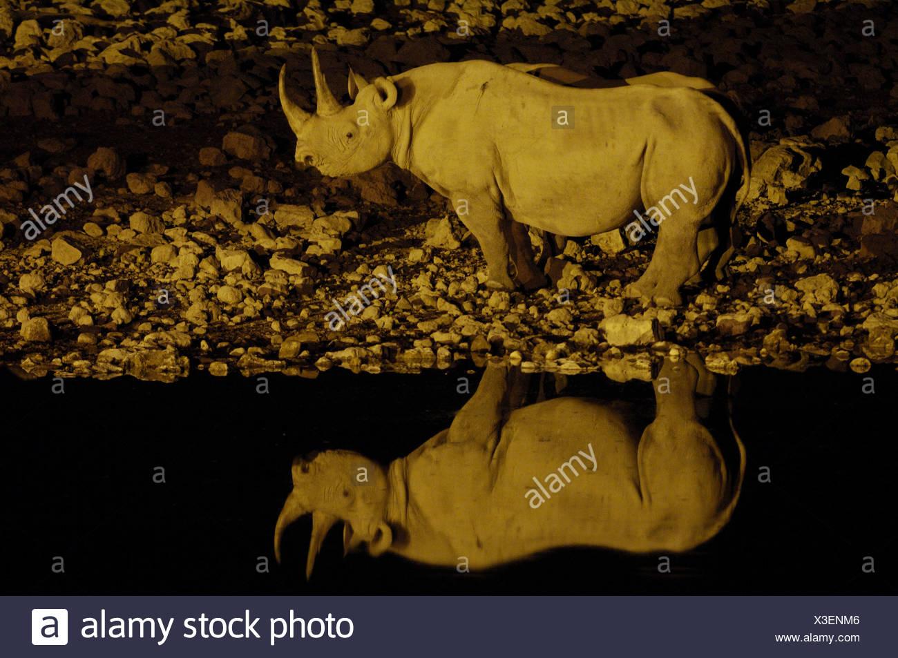 Le rhinocéros noir, accro-lipped rhinoceros, parcourir rhinoceros (Diceros bicornis), au lieu de l'eau, la Namibie Banque D'Images