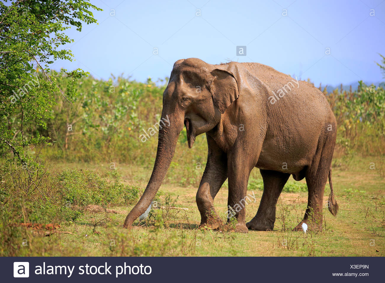 L'éléphant du Sri Lanka (Elephas maximus maximus), adulte, homme, alimentation, parc national Udawalawe, Sri Lanka Photo Stock