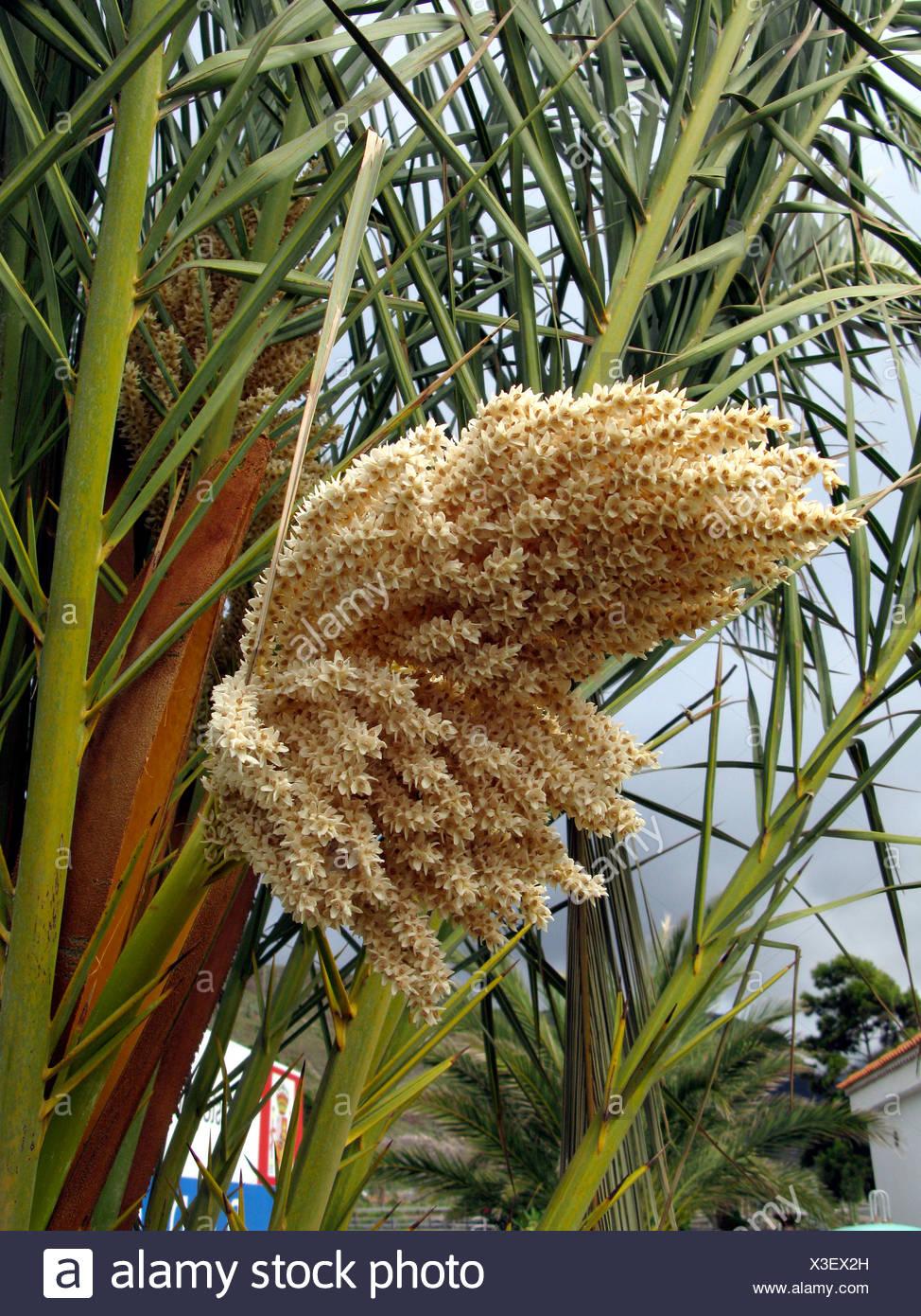 Palmier Dattier Phoenix Dactylifera Date Des Fleurs Des Iles