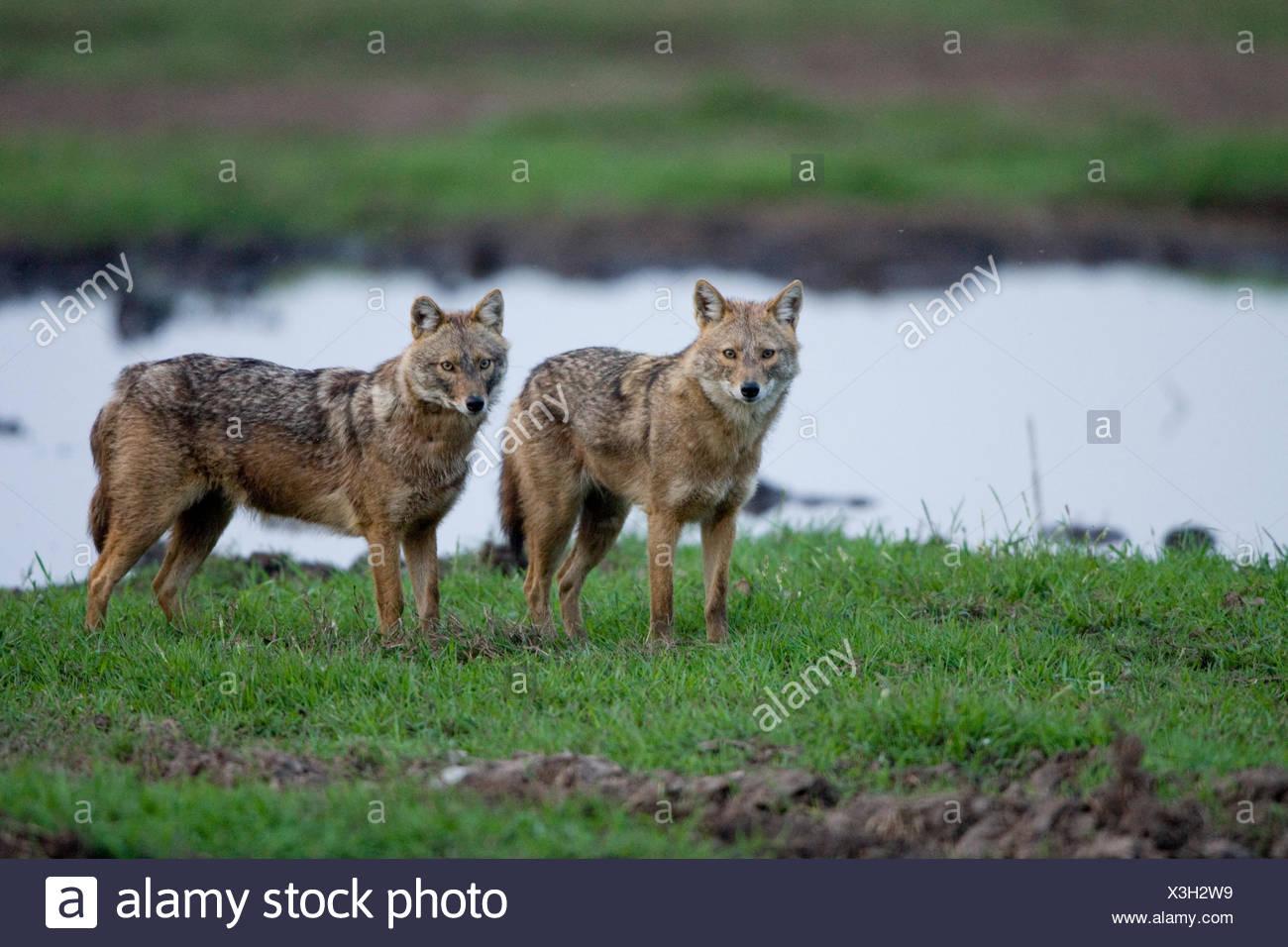 Le chacal doré (Canis aureus), également appelé l'asiatic, oriental ou chacal commun, photographié dans la vallée de Hula, Israël Banque D'Images