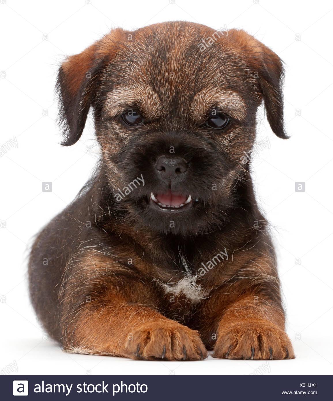 Border Terrier puppy, l'âge de 8 semaines. Banque D'Images