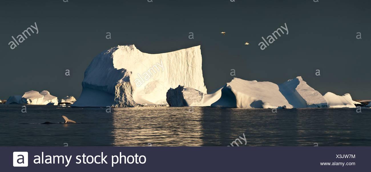 Le varech goélands survolant icebergs au lever du soleil, avec des baleines à bosse, l'Antarctique, Vernadsky Photo Stock