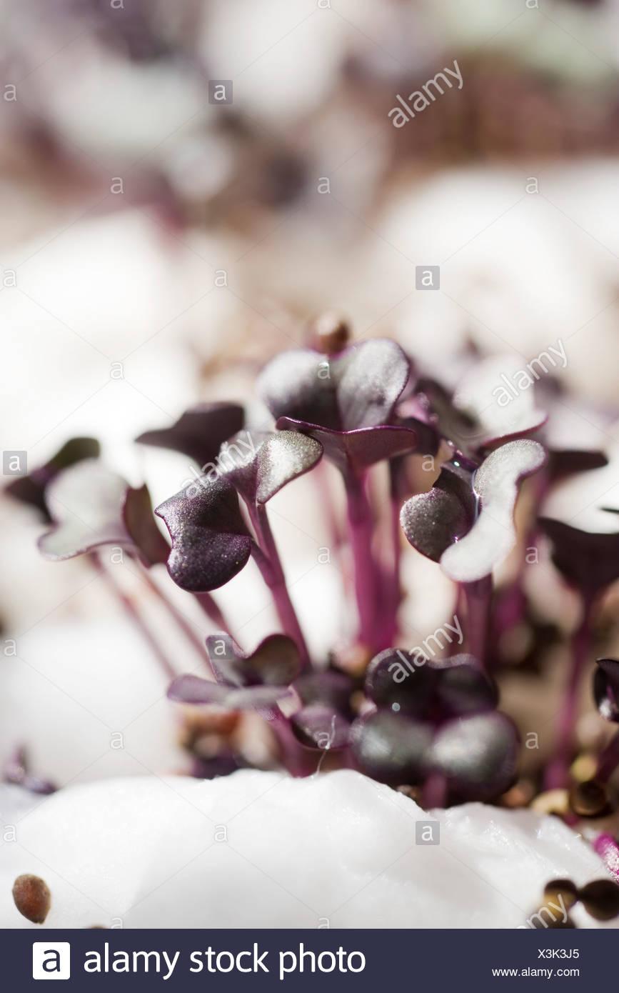 Pousses de radis pourpre, close-up Photo Stock