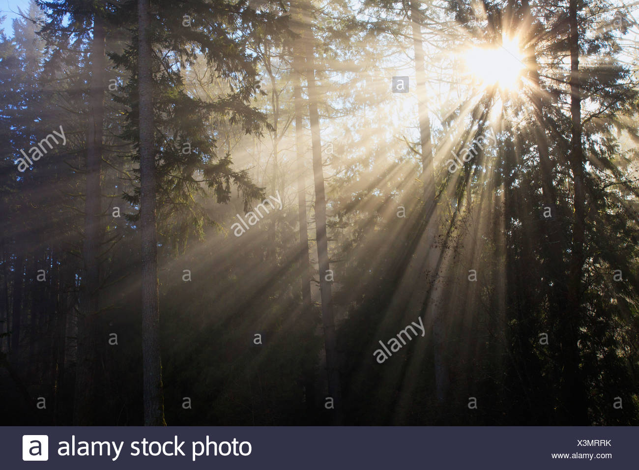 Soleil qui brille à travers le brouillard du matin et arbres ; Happy Valley, Oregon, United States of America Photo Stock