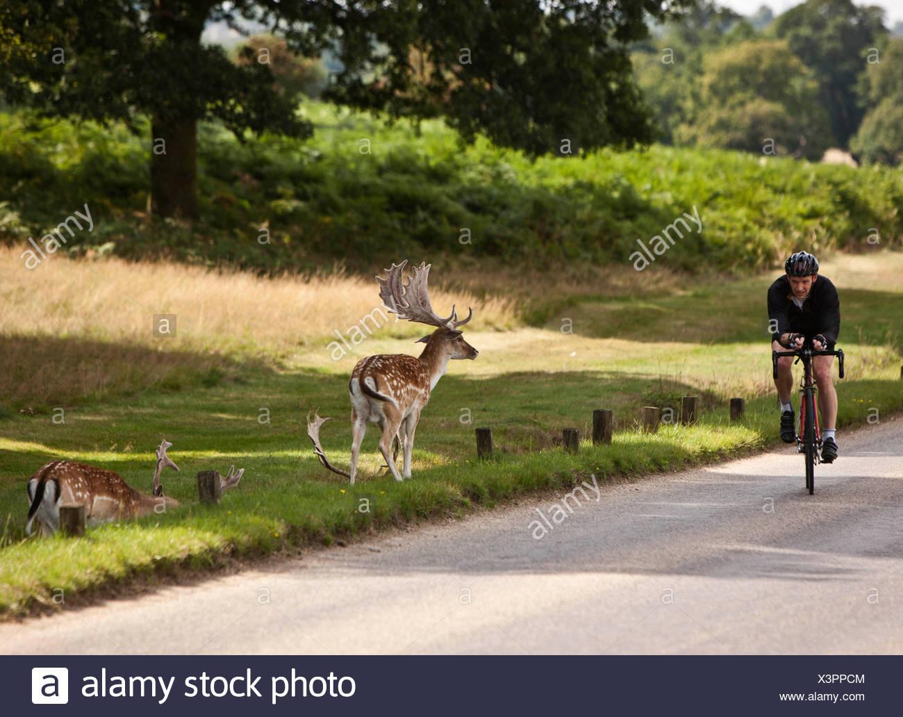 Cycliste à Richmond Park, avec le cerf, London, England, UK Photo Stock