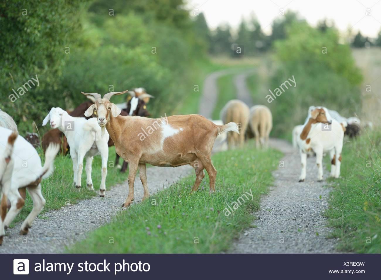 Groupe des chèvres Boer et elle eps, Haut-Palatinat, Bavaria, Germany, Europe Photo Stock