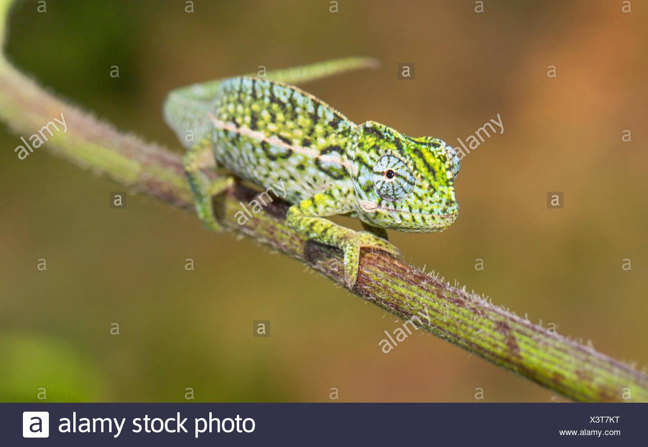 Caméléon Furcifer lateralis (tapis), homme, hauts plateaux, Madagascar Photo Stock