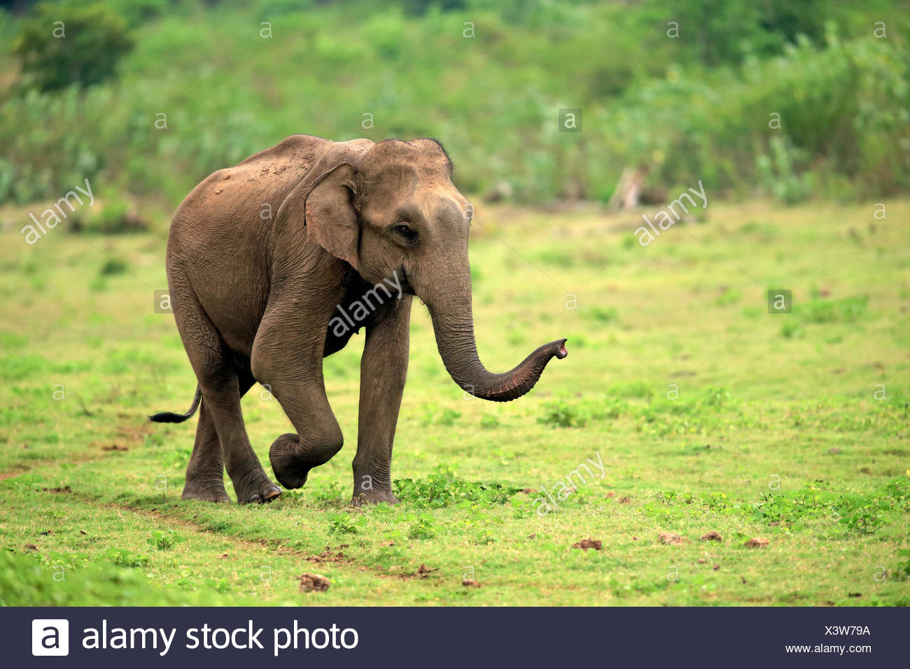 L'éléphant d'Asie, Sri Lanka, l'éléphant mâle adulte, parc national Udawalawe, Sri Lanka, Asie / (Elephas maximus maximus) Photo Stock