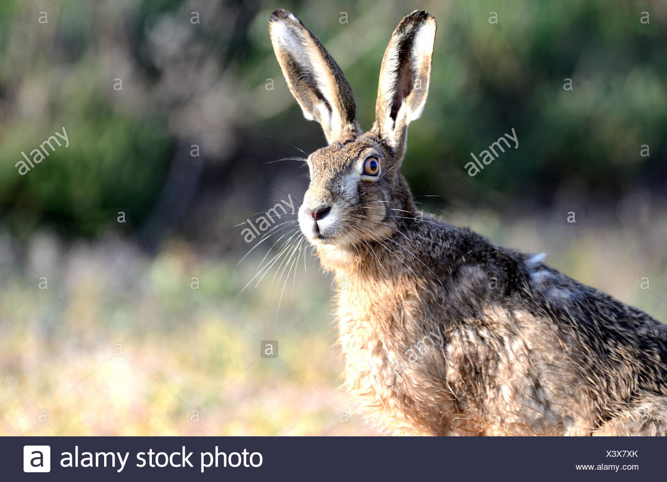 Lièvre, lapin, Lepus europaeus Pallas, lièvre, le champ, rongeur, nature, animal sauvage, jeu, animal, Photo Stock