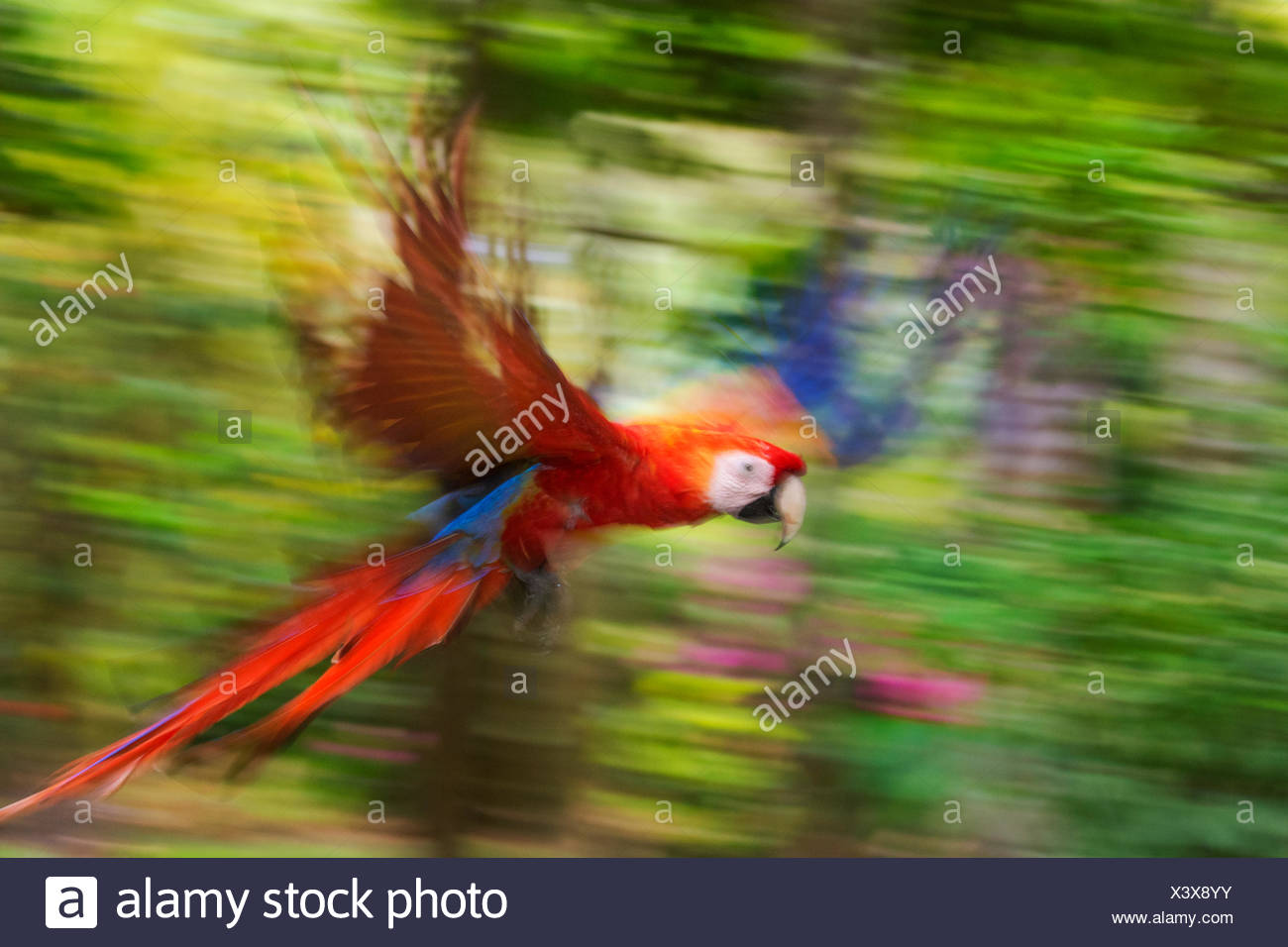 Ara rouge (Ara macao), volant, blurred motion. Costa Rica. Photo Stock