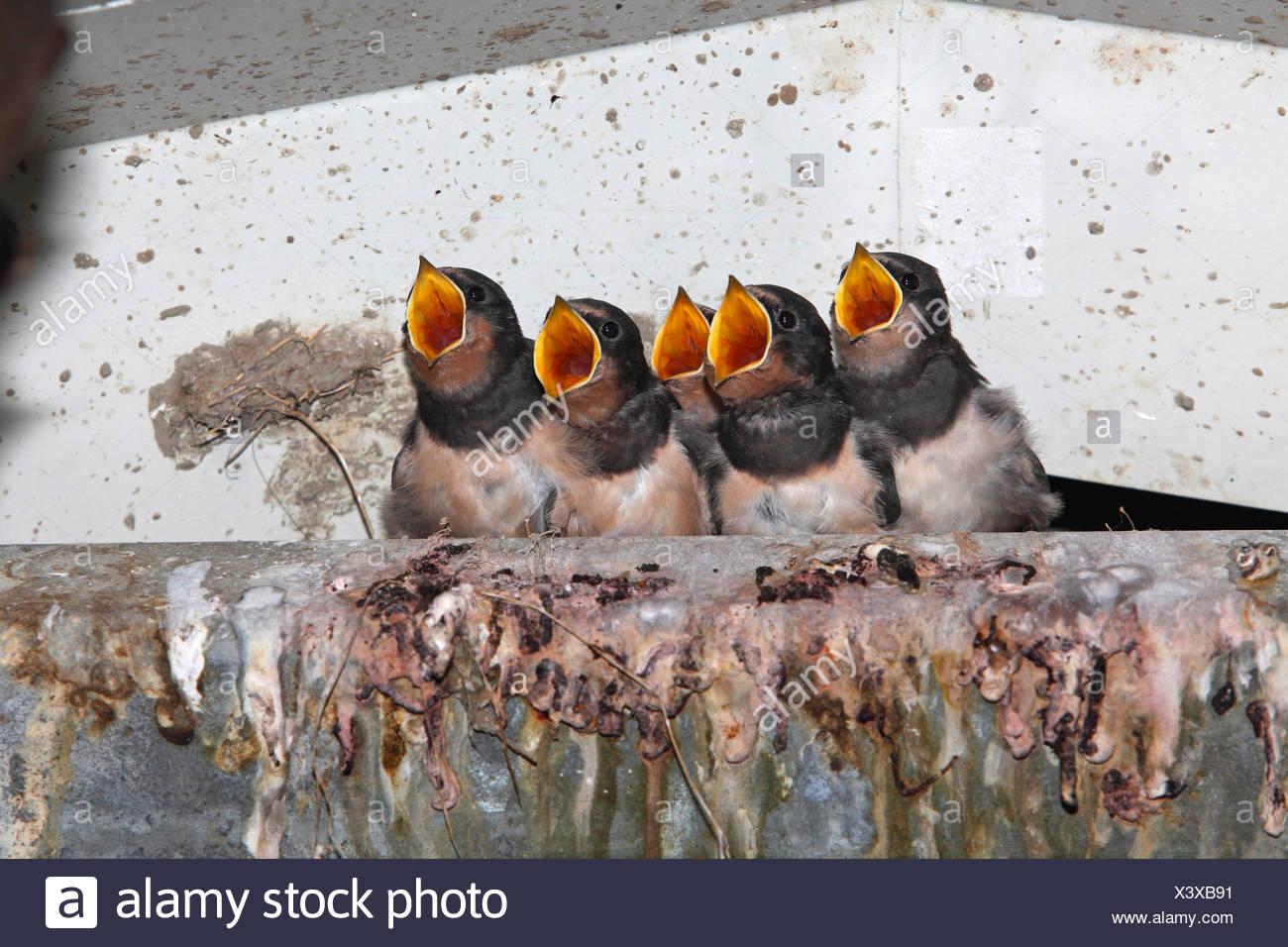 L'hirondelle rustique (Hirundo rustica), les jeunes oiseaux dans le nid à l'oiseaux adultes, qui apporte la nourriture, Pays-Bas, le Flevoland Photo Stock