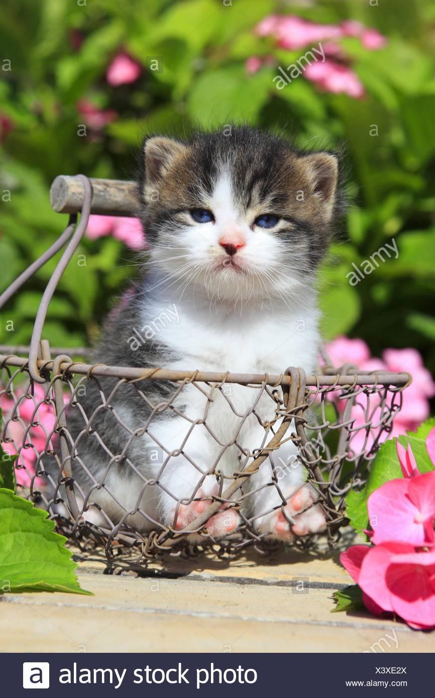 Chat domestique, le chat domestique (Felis silvestris catus ...