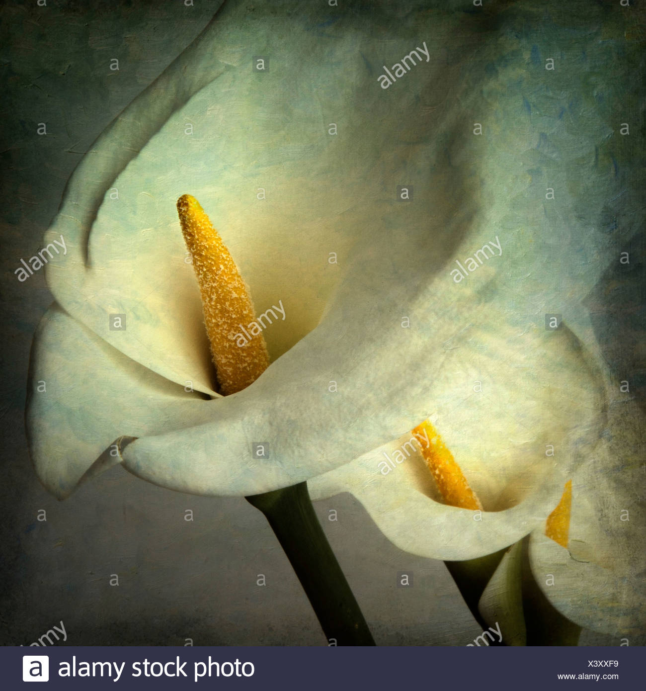 Close up of lily capitules Photo Stock