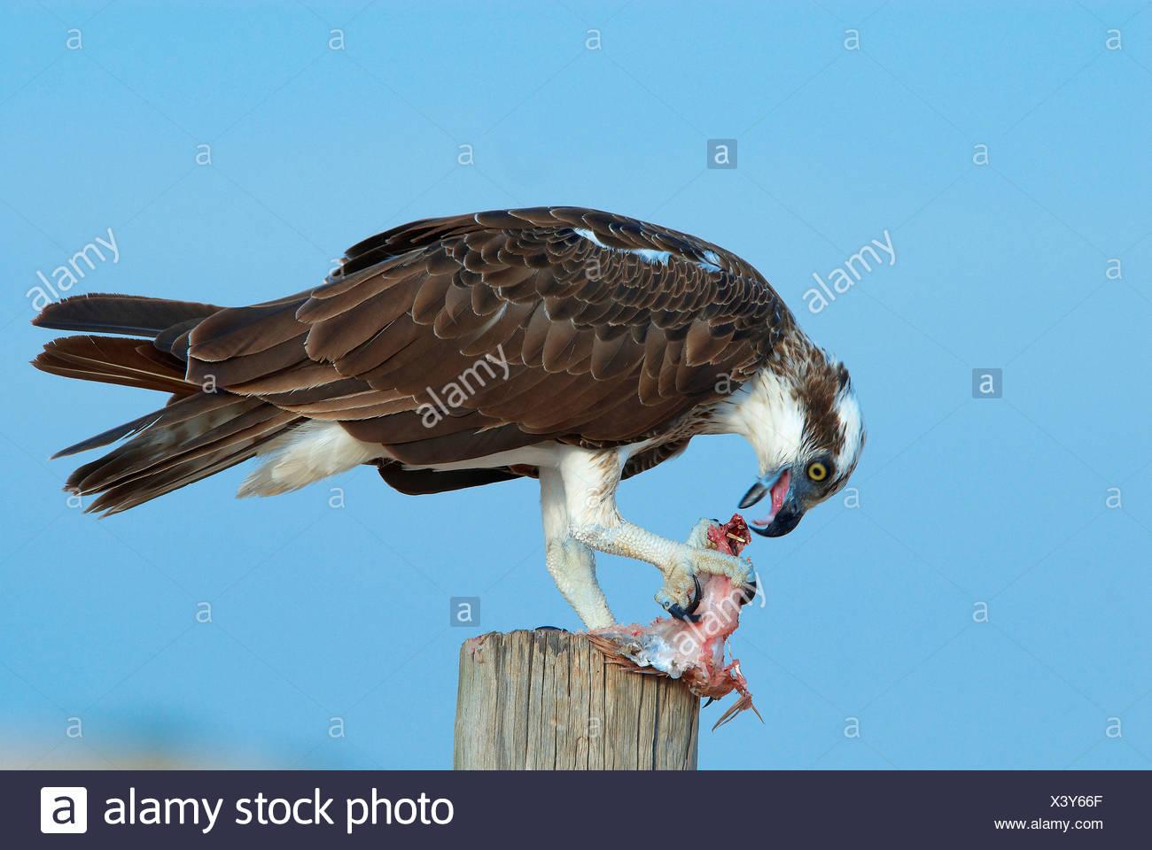 Eagle, de l'Australie, Cape Leveque, poissons, animaux, oiseaux, l'ouest de l'Australie, proie, manger Photo Stock