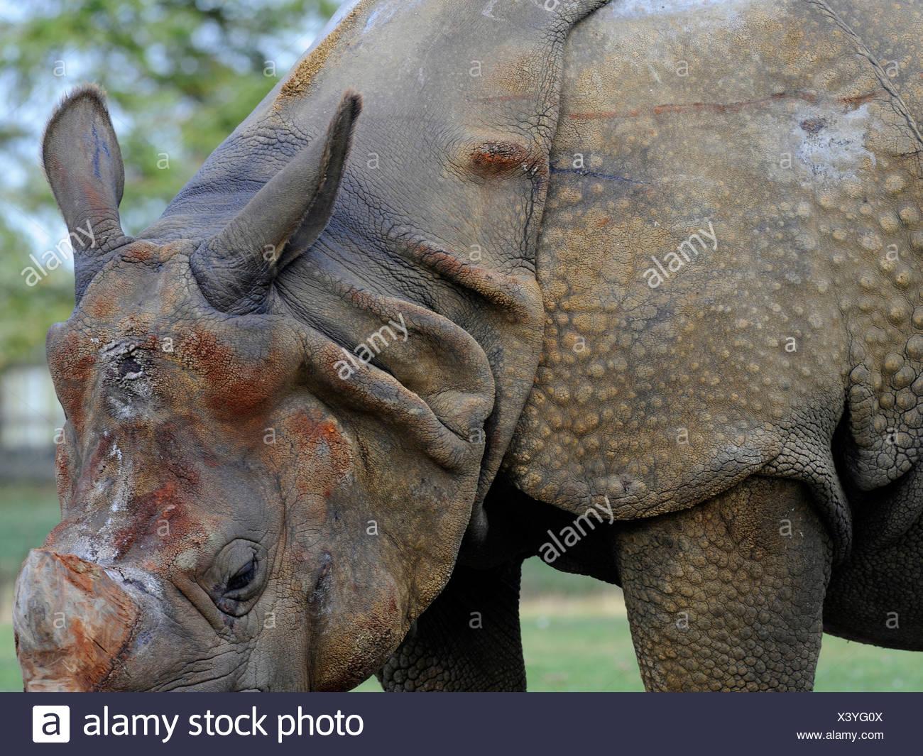 Un rhinocéros, recouvert de plaques de blindage Photo Stock