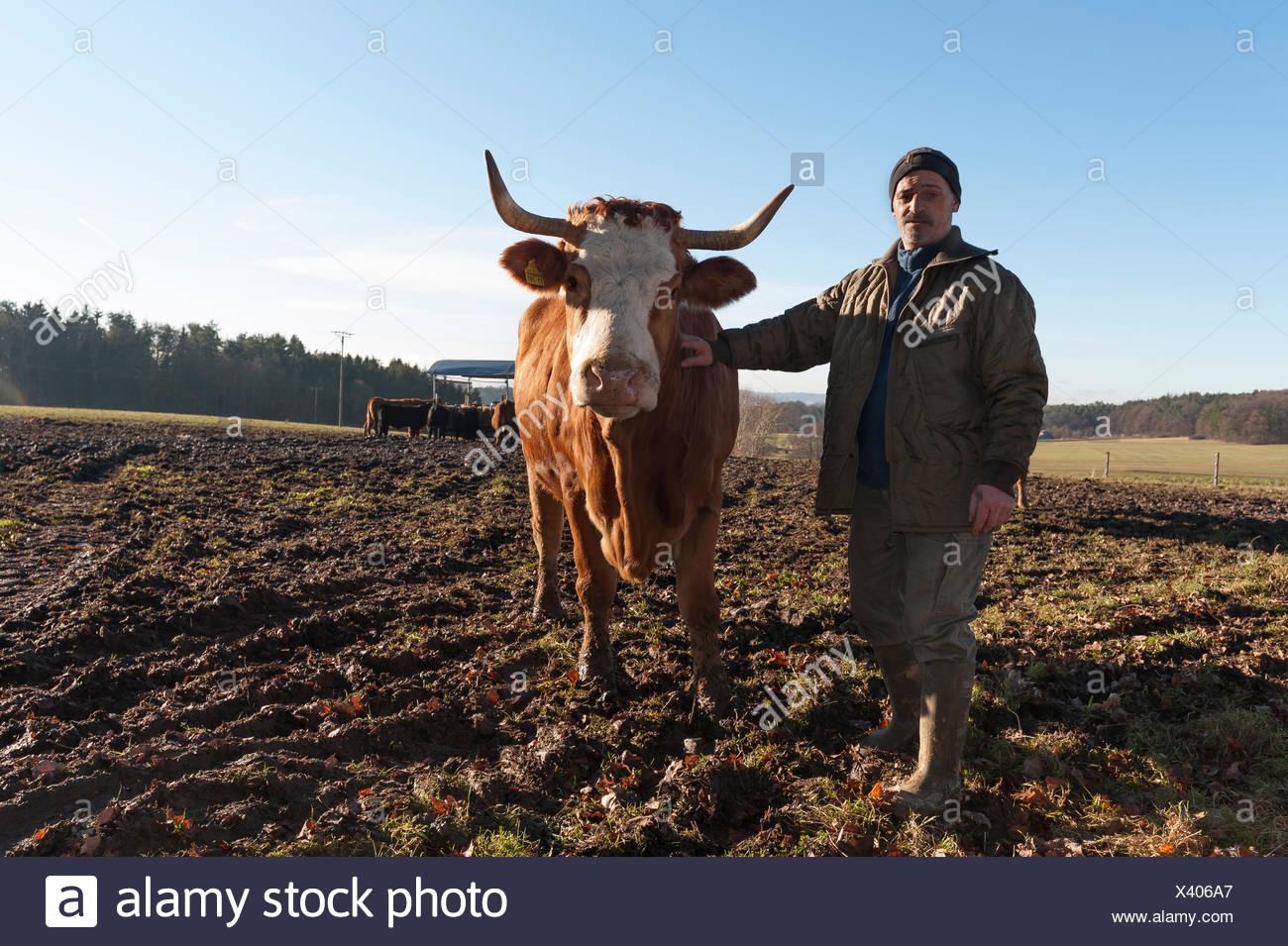 Agriculteur avec vache Salers en pâturage, Middle Franconia, Bavaria, Germany Banque D'Images