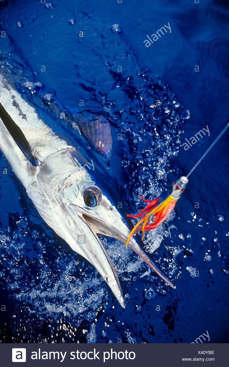 Le makaire bécune, accroché avec tête à jet hawaïenne leurre de traîne Photo Stock