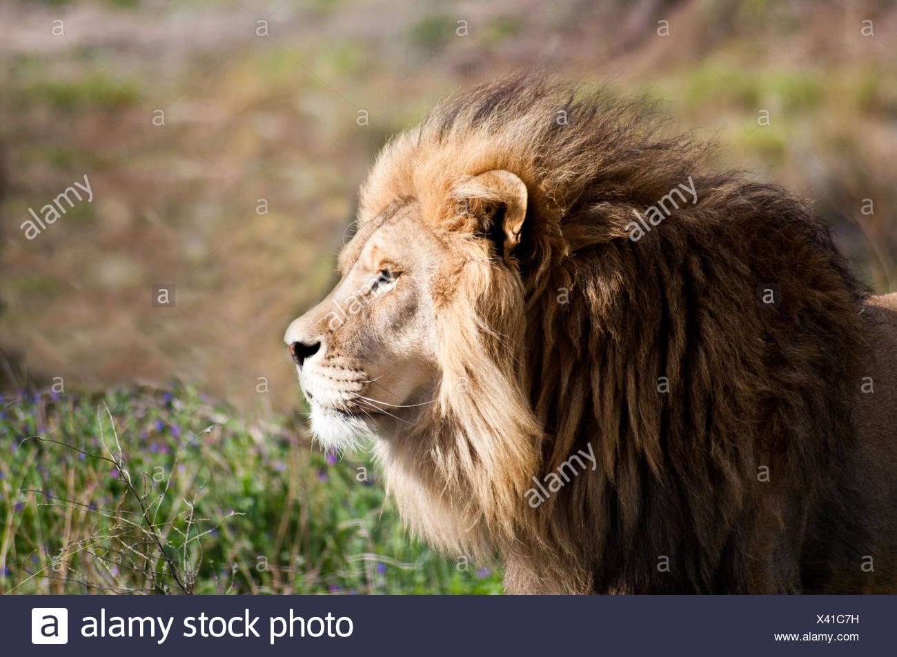 Portrait d'un lion, Limpopo, Afrique du Sud Photo Stock