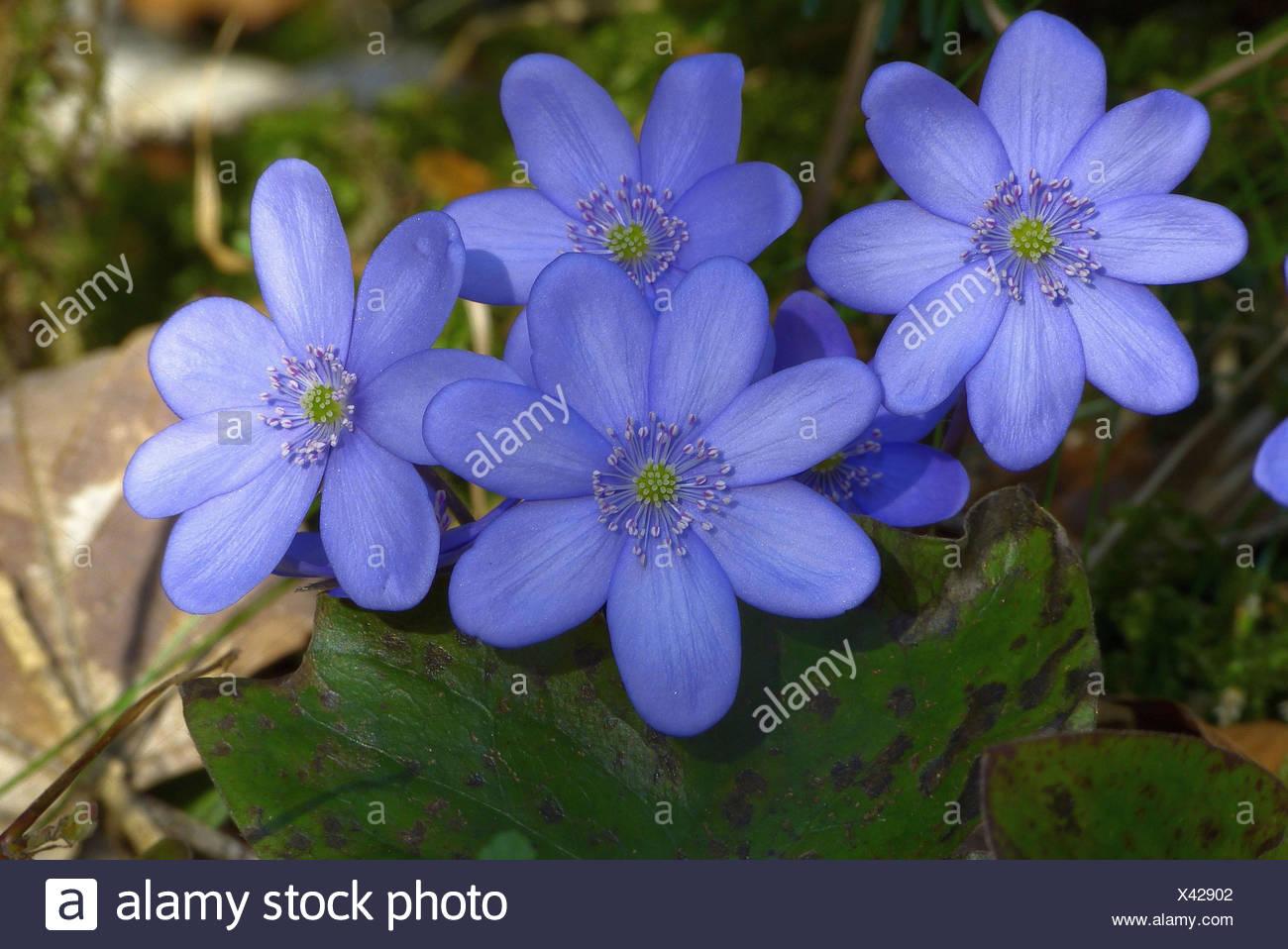 Fleur De Sous Bois Bleue l'hépatique, hepatica nobilis, 2013 fleurs, plantes, plantes