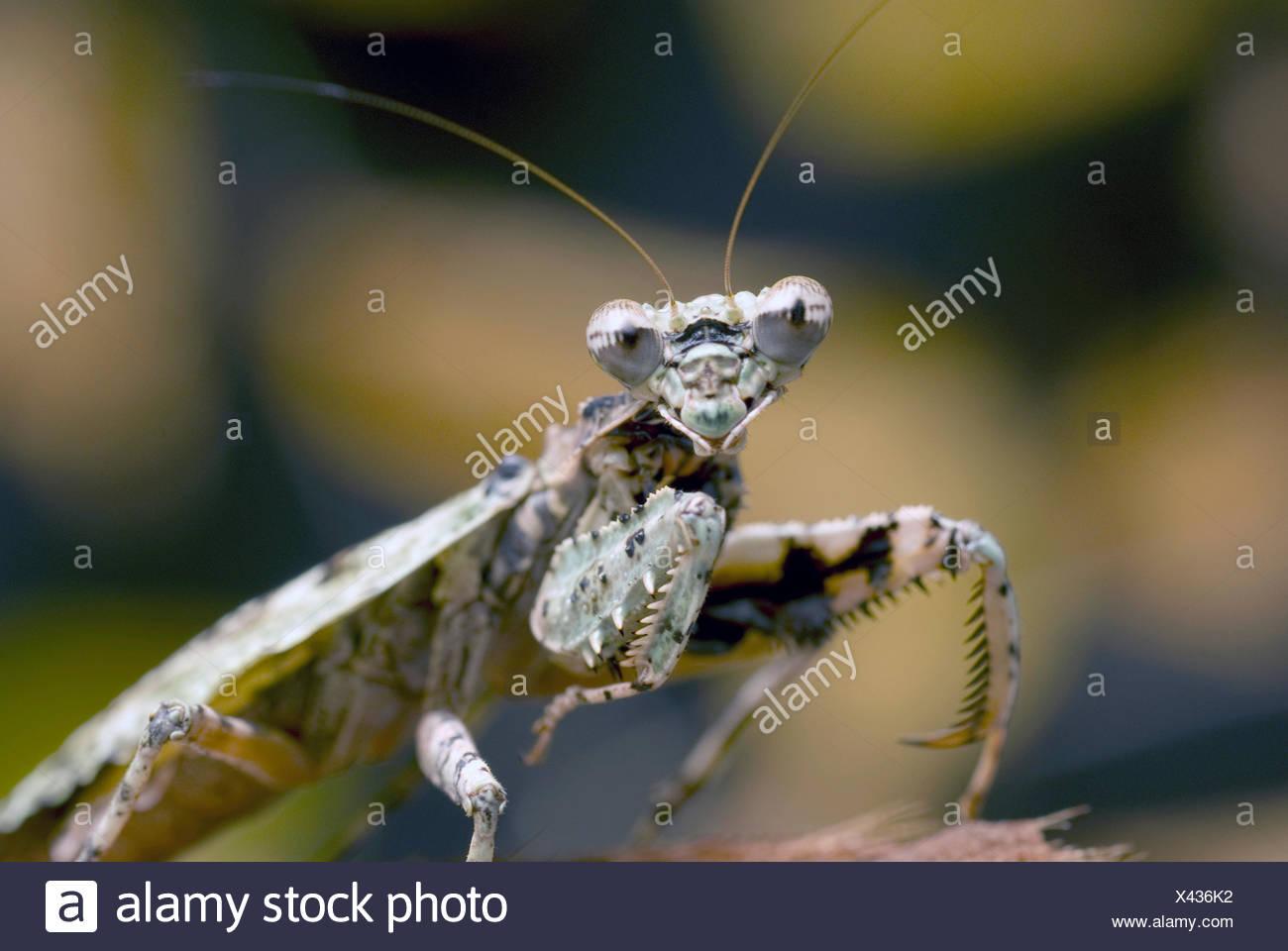 Theopompa servillei Mantis (écorce), demi-longueur portrait Photo Stock