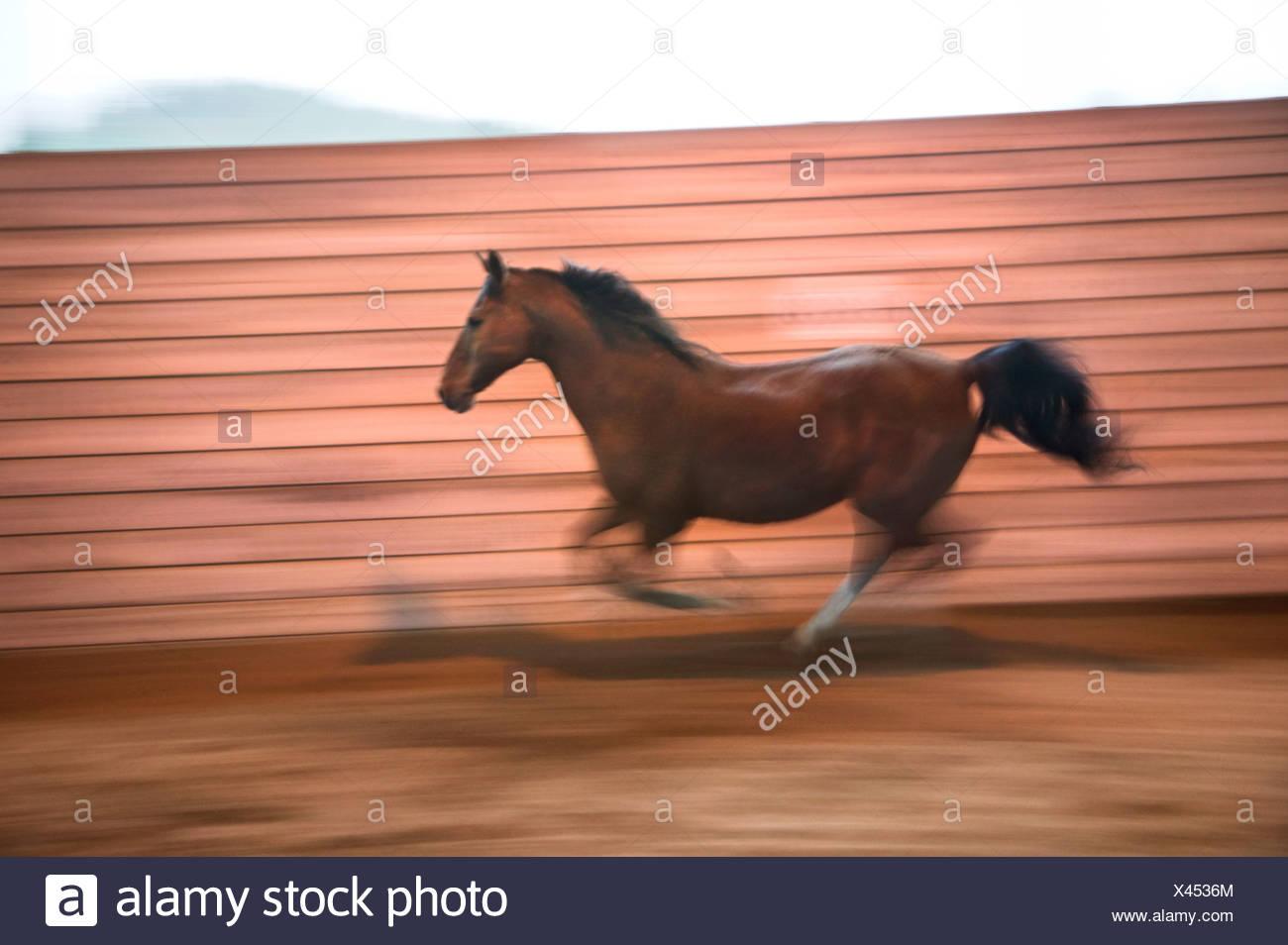 Cheval de course Photo Stock
