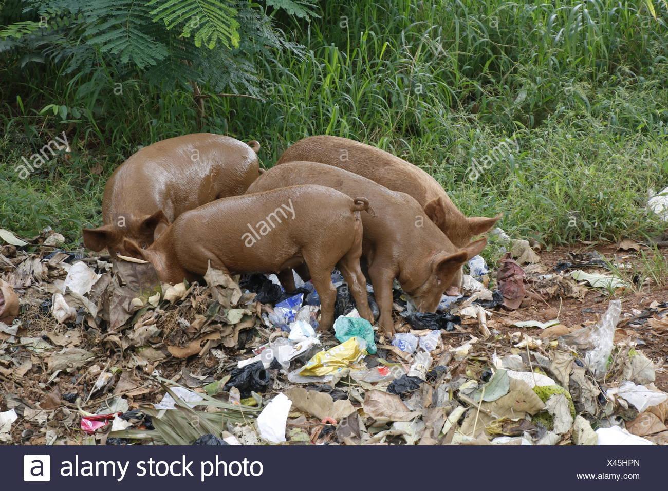 Les porcs onn une décharge Photo Stock