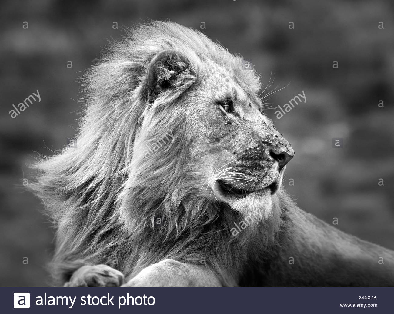 Portrait du lion en Afrique, Afrique du Sud Photo Stock
