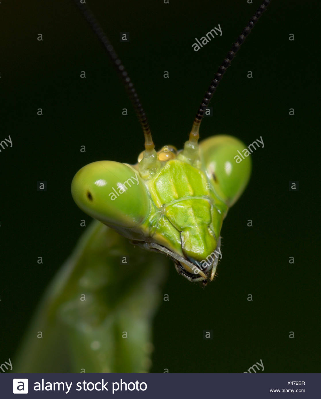 Praying Mantis FamilyMantidae Costa Rica Photo Stock