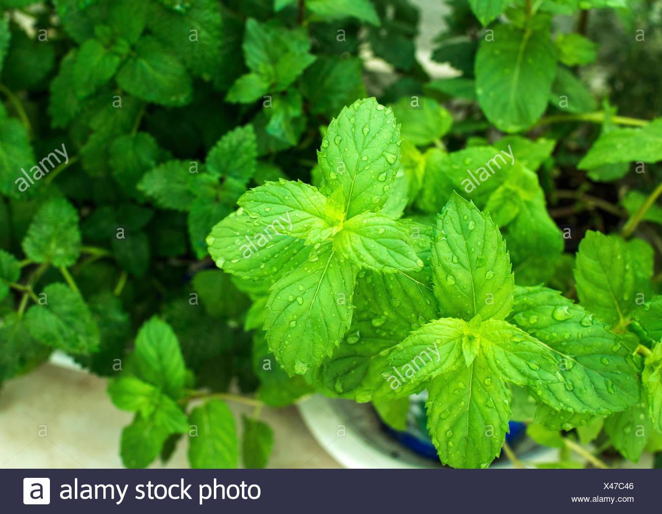 Libre de menthe fraîche les feuilles des plantes avec de l'eau tombe en pleine croissance au balcon, selective focus Photo Stock