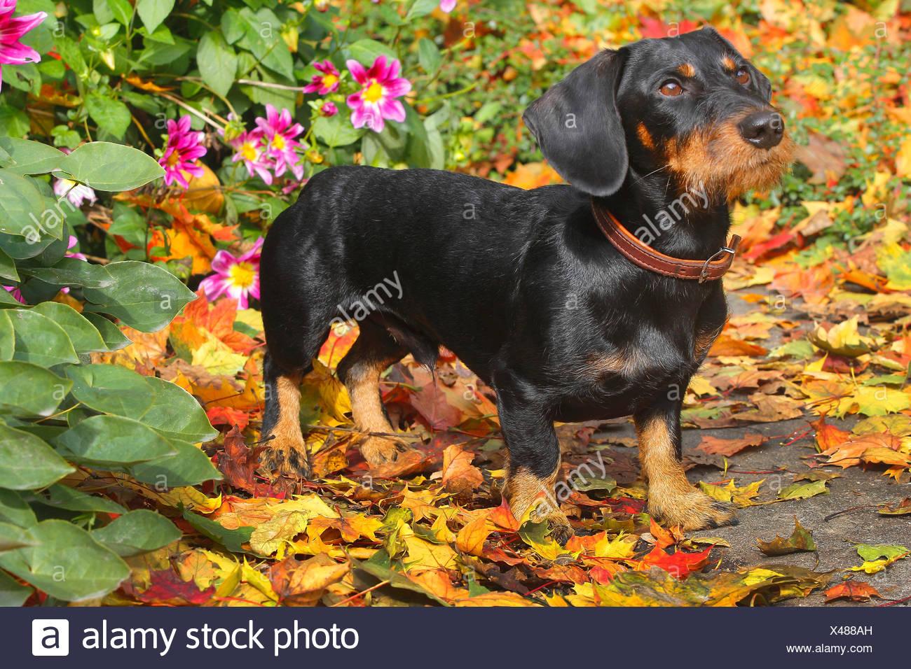 Teckel à poil dur, chien saucisse à poil dur, chien domestique (Canis lupus f. familiaris), noir et feu de 19 mois mâle chien en automne feuillage en face de dahlias, Allemagne Photo Stock