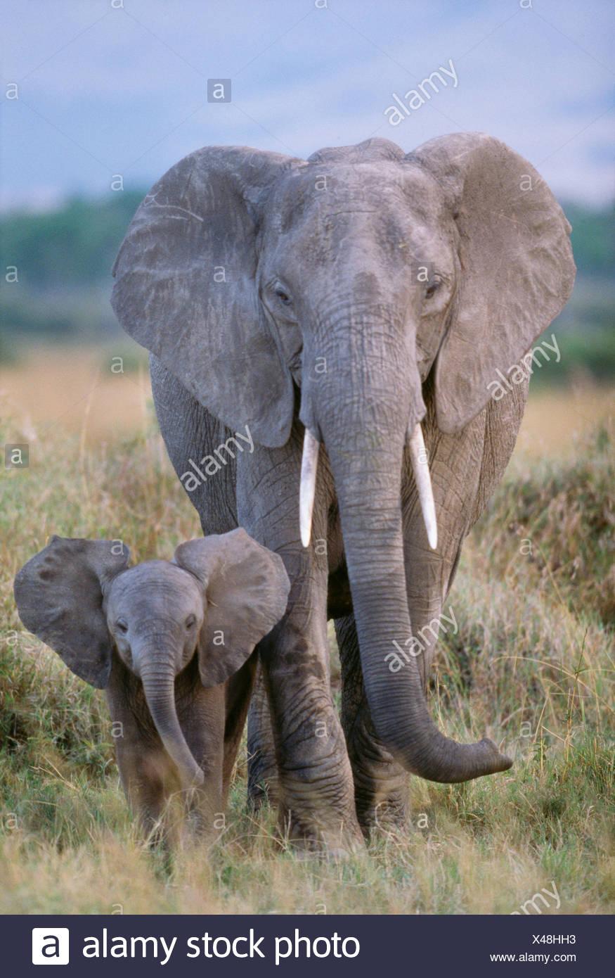 L'éléphant d'Afrique et de vache veau, Parc National d'Amboseli, Kenya Photo Stock