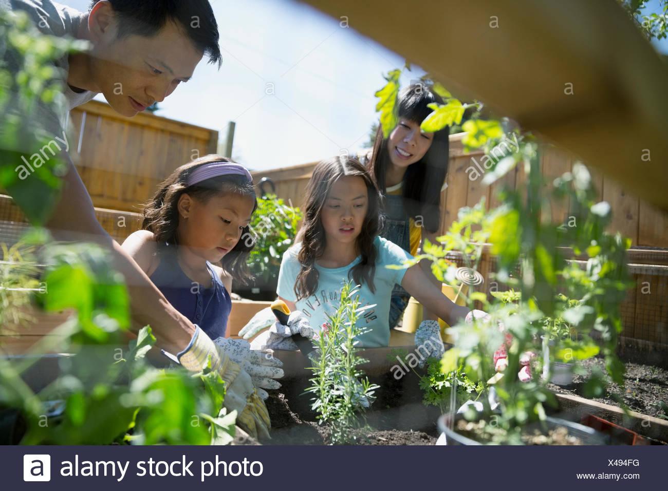 La plantation de la famille des herbes dans le jardin ensoleillé Photo Stock
