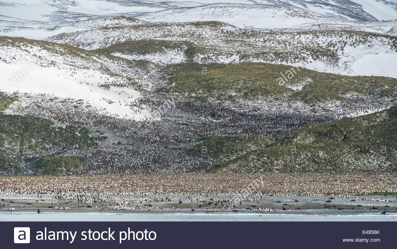 Manchot royal Aptenodytes patagonicus, colonie de reproduction, dans la plaine de Salisbury. Banque D'Images