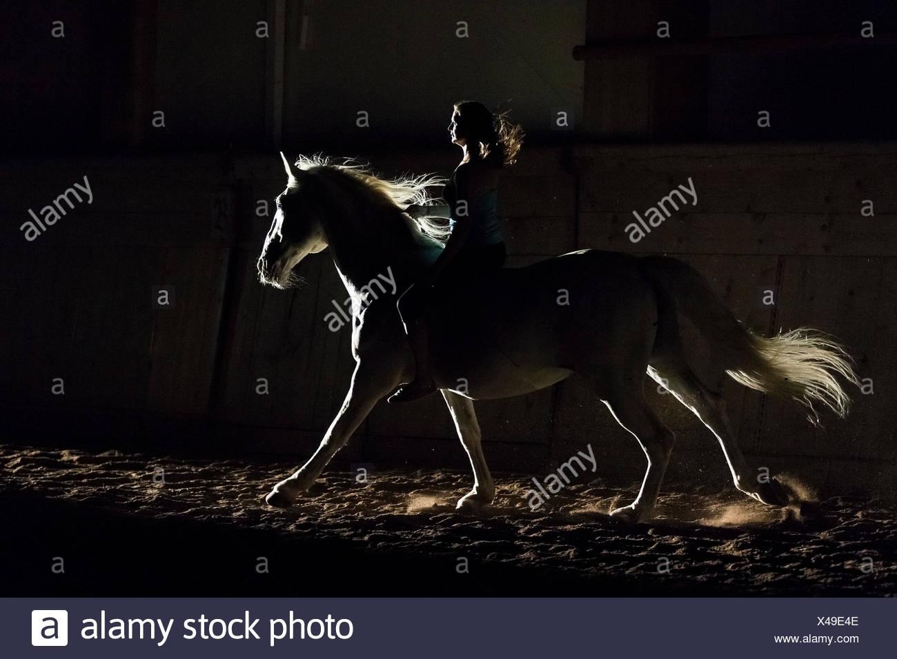 Cheval lipizzan. Étalon adultes (Siglavy Capriola Primas) avec rider dans l'obscurité, vu contre la lumière. L'Autriche Photo Stock