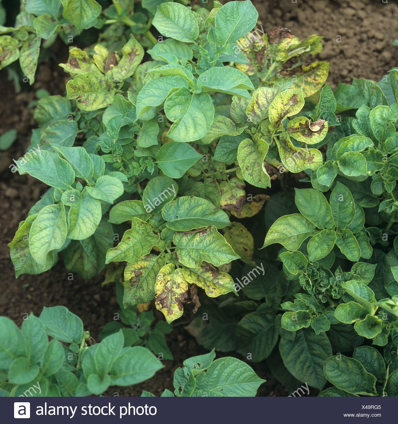 Les symptômes de carence en magnésium sur certaines feuilles de pommes de terre dans cette récolte biologique Photo Stock