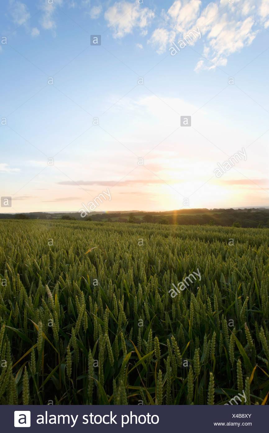 Lever de soleil sur les champs de blé Photo Stock