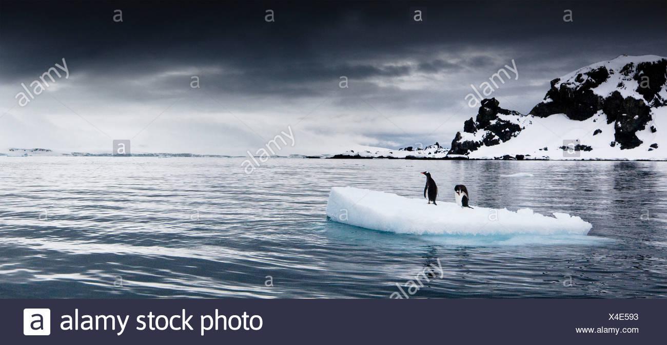 Manchots sur un iceberg flottant, l'Antarctique Photo Stock