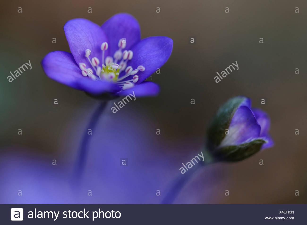 L'hépatique (anemone hepatica), Allemagne Photo Stock