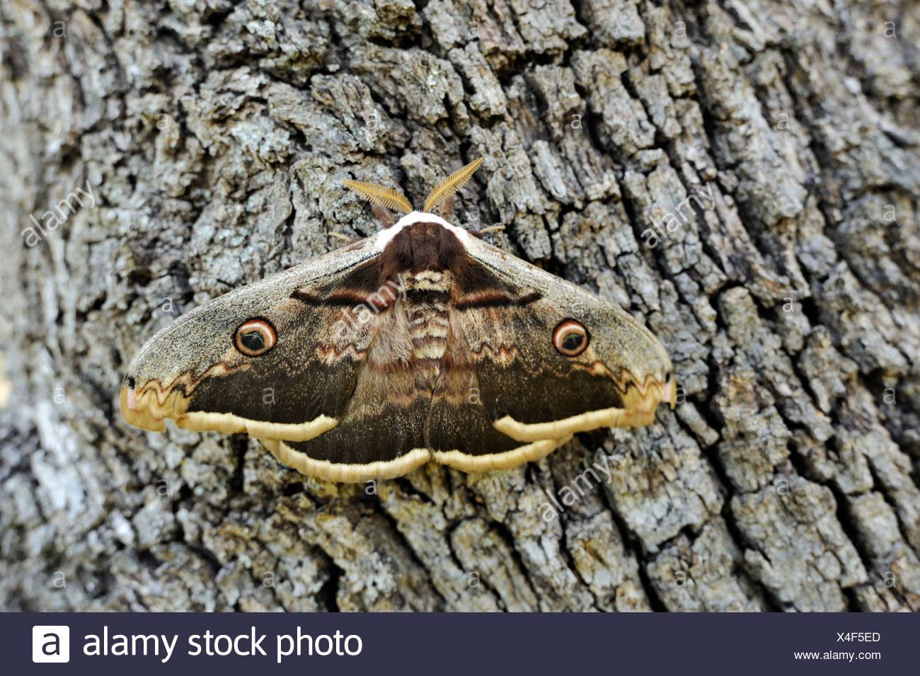 Oeil de Paon de nuit (Saturnia), reposant sur l'écorce des arbres Photo Stock