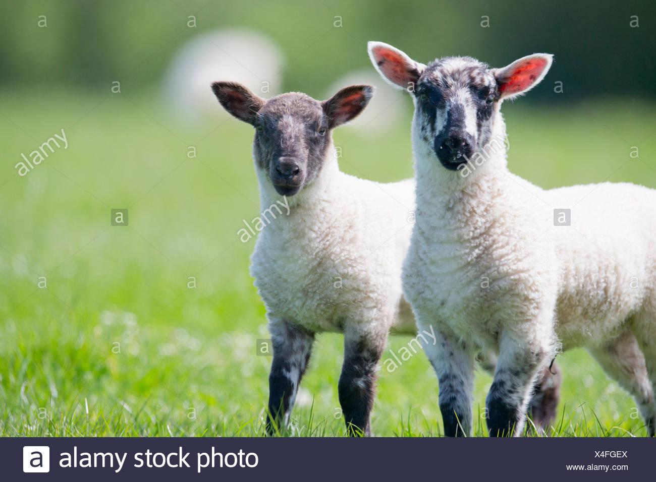 Portrait d'agneaux curieux à sunny green spring grass Photo Stock