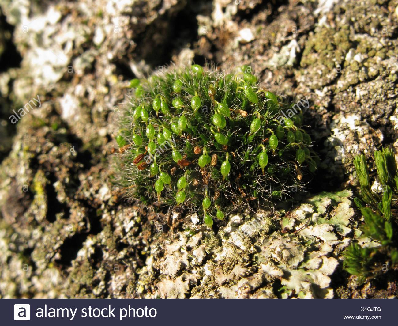 Coussin de mousse, trottoir d'argent (Grimmia pulvinata), sur l'écorce, Allemagne, Rhénanie du Nord-Westphalie Banque D'Images