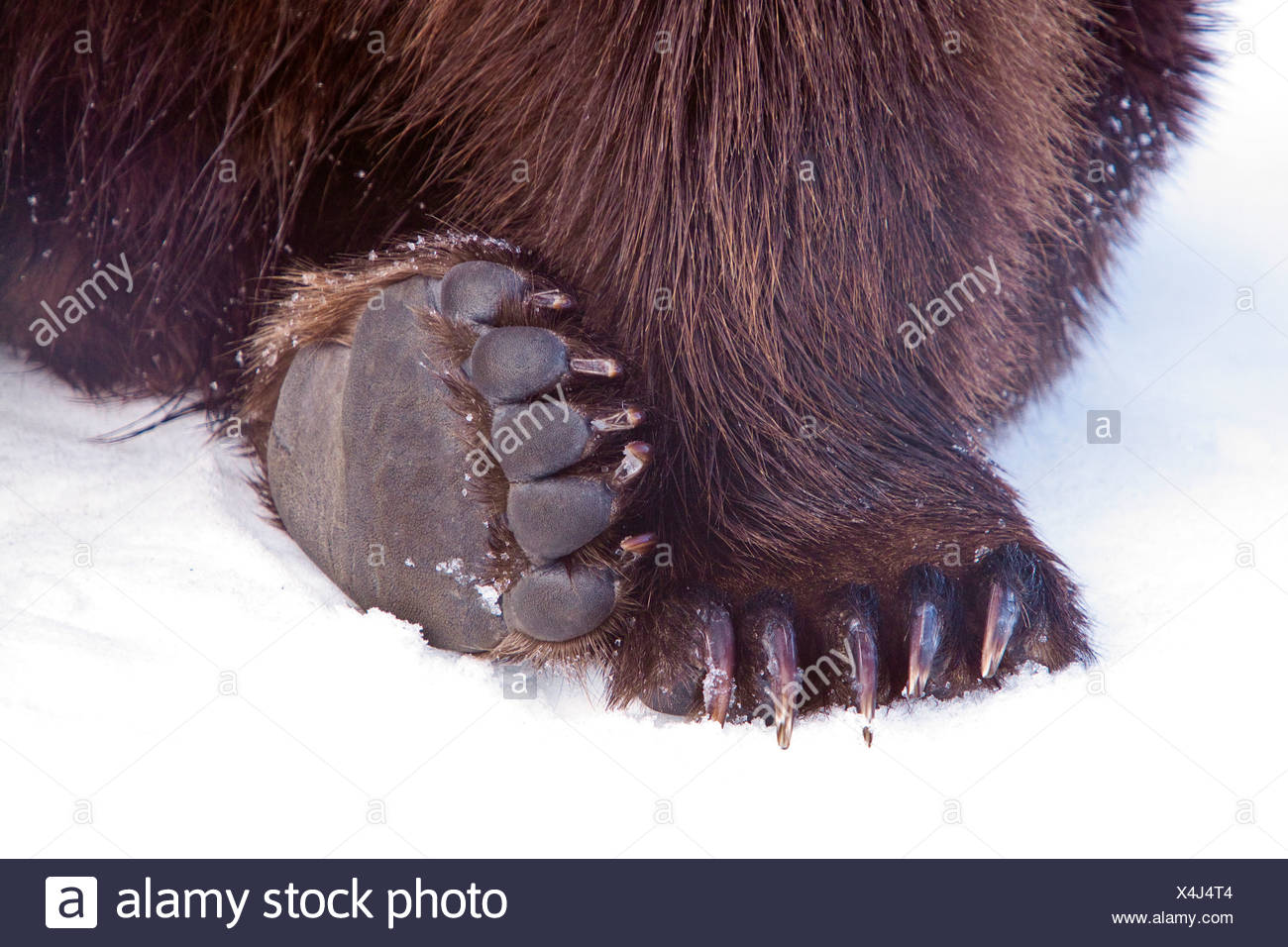 Pieds & Pads de grizzli à AWCC, Alaska Wildlife Conservation Center Photo Stock