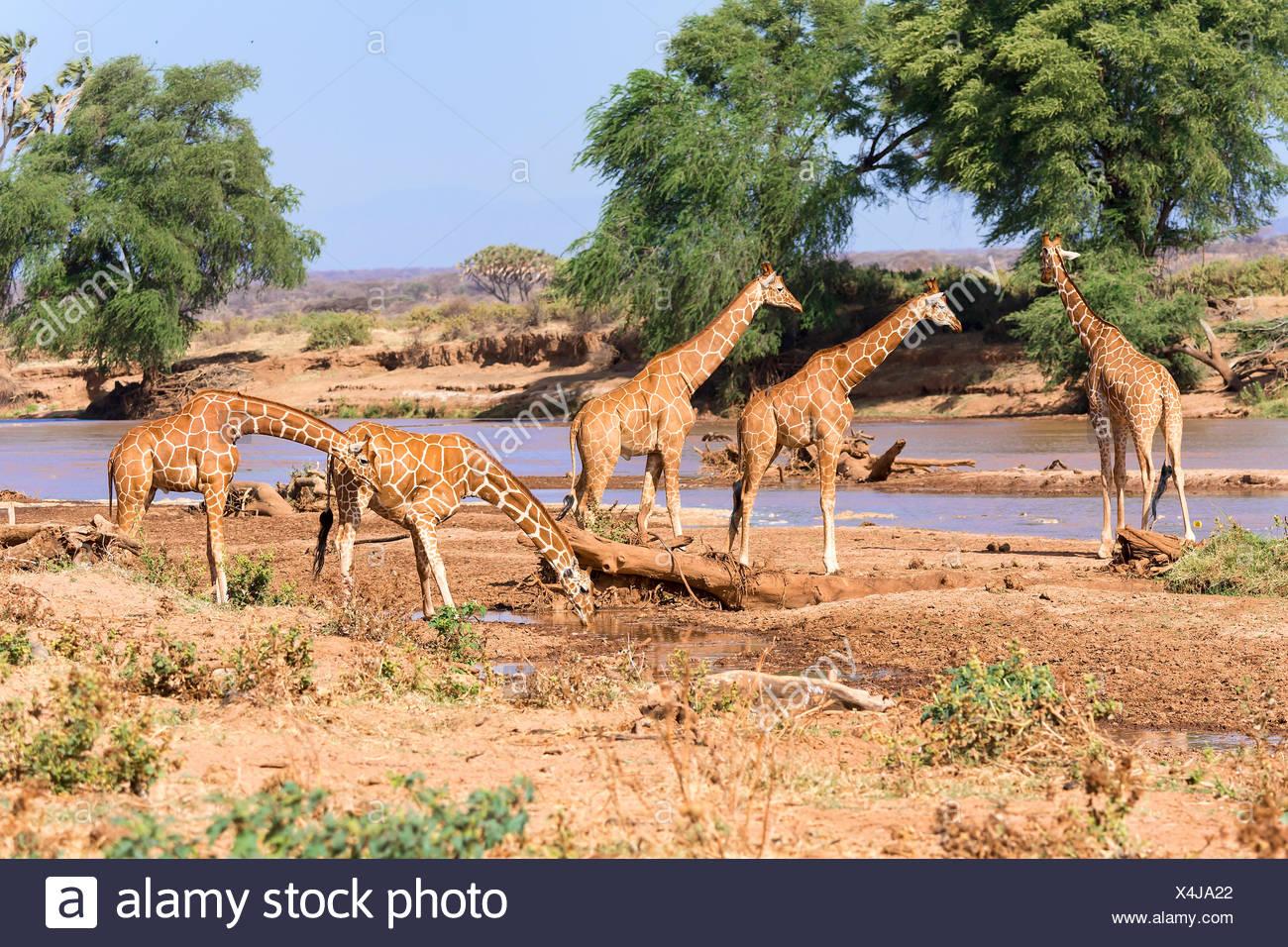 Les Girafes réticulée ou Somali girafes (Giraffa camelopardalis reticulata) boire à la rivière, la réserve nationale de Samburu, Kenya Banque D'Images